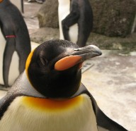 Edinburgh Zoo - Penguin